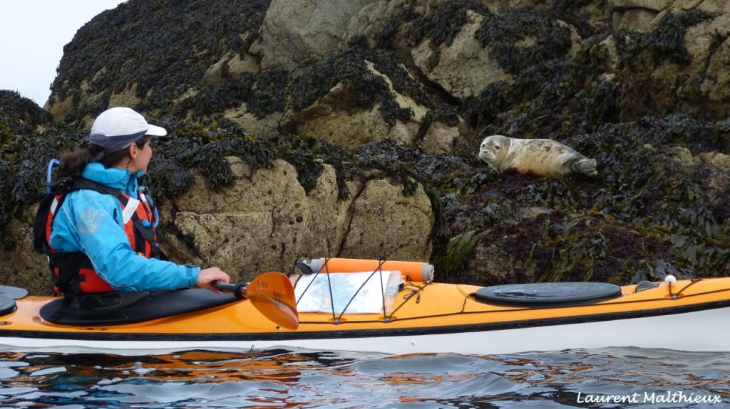 Phoque de l'archipel des Sept-Iles