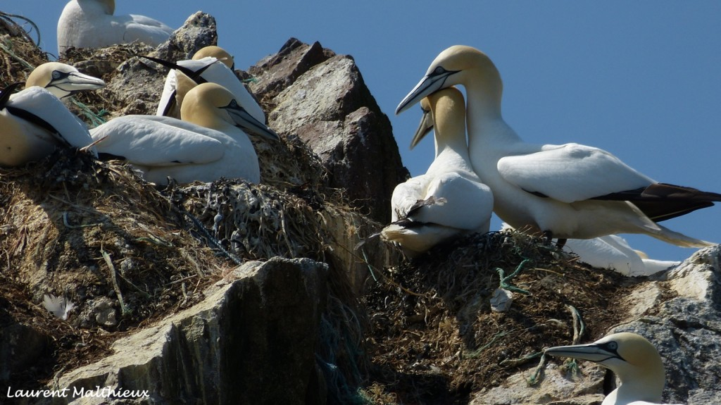 Les Fous de bassan - île Rouzic
