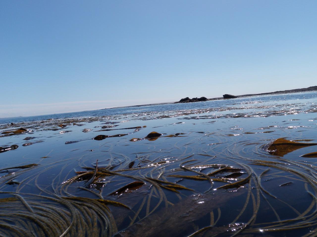 Molène - algues
